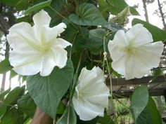 Moon Vine is an easy annual vine to grow.  Look for seeds at Lowes or Home Depot.  In early April sow in small pots.  Once plants become established plant them out in your garden.  Easy to grow vine for a sunny spot. Has large white flowers that open at night! Wonderful!