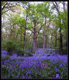 Bluebell Wood in Badby, Northamptonshire, England