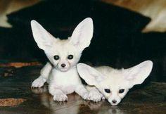 Baby Fenec Fox