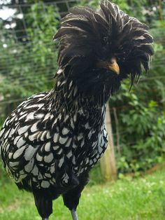 The Polish is a European breed of chicken known for its crest of feathers.