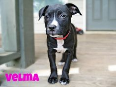 Velma is a 12 week old puppy who was found with her siblings in a box on the side of the road. Velma is in our hands now and we promised we would find her a wonderful forever home. She is expected to be in the 50 lb range when fully grown. She is your typical puppy and enjoys playtime and naps. She is well socialized with people and other dogs and would be a nice addition to any family looking for a new addition.