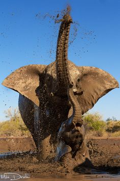 Africa | An elephant mother and her calf enjoy a mudbath in a muddy wallow on Mashatu Game Reserve in Botswana. | © Mike Dexter
