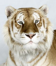 Brahman, a six-year-old male, one of only 30 golden tabby Bengal tigers left in the world.