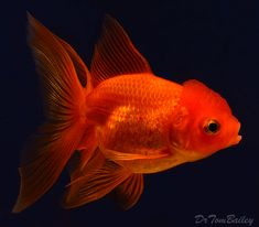 An Oranda Goldfish. To see more click on ... http://www.AquariumFish.net/catalog_pages/goldfish_and_koi/oranda_table.htm#oranda