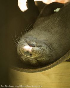 Das otter haus photos | Otter Takes a Nap in His Ottertube | The Daily Otter