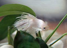 Betta (Fighting Fish)- Beautiful color.