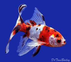 Pond Comet Goldfish