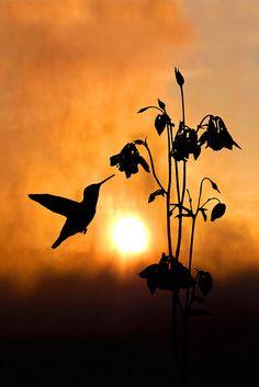 The Nectar of Dawn ~~~ hummingbird in silhouette