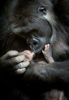 Newborn Gorilla Baby, by Marina Cano.  So much love between them!