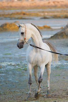 Young Arabian horse.