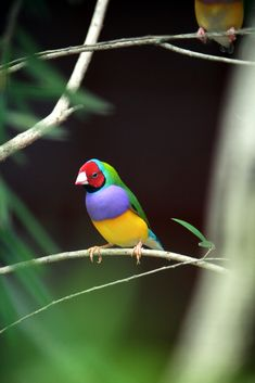 Beautiful Colored Bird - Cairns Zoo - Australia