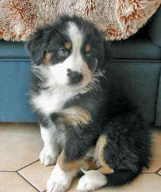 Australian Shepherd Puppy!!!