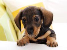cute daschund puppys, awww, pet doxi, anim, dachshund puppi