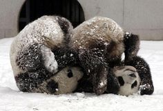 Google Image Result for http://data.whicdn.com/images/6807328/animals,panda,cute,panda,bears,pandas,snow-809a12a3e5d41eebcae2d32fdf8d09b0_h_large.jpg