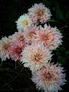 clare day flowers at red damsel farm | cafe au lait dahlias