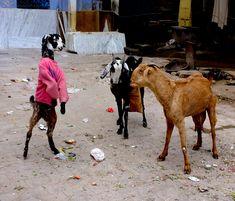 goats, farmers, sweaters, animals, bro