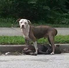 Loyal dog stands guard over companion, then taken to animal control - precious story...