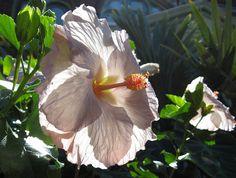 Hibiscus Tylene in the Enid A. Haupt Garden