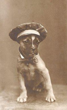 Sailor Hat Dog --- Pit Bull/Boxer?