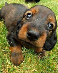 cute dauschund puppy dog