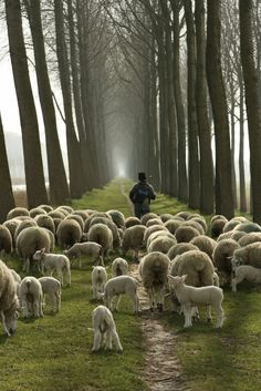 Counting Stone Sheep