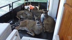 What a wonderful, heartwarming story! Tom Satre and his family were cruising aboard Tom's boat the Alaska Quest in Taku Inlet in Alaska when they saw four deer swimming towards their charter boat. The juvenile Sitka black-tail deer were obviously in distress and cold and tired battling 2 foot white-capped waves. There was a strong wind in the Inlet and the deer were cold and tired. They were desperately looking for somewhere to go, but they were still 1.2 ...