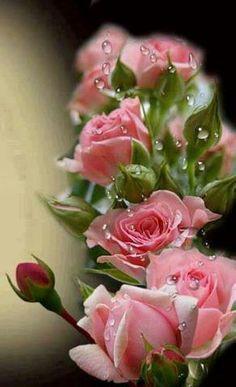 Raindrops on Roses!