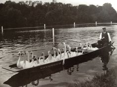 Swans are removed from a stretch of the River Thames near Henley to make way for the annual regatta, June 1900.