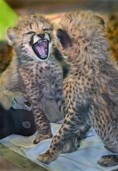 Chatty little cheetahs. Photo by Ion Moe.