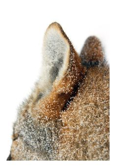 Fox covered in snowflakes//
