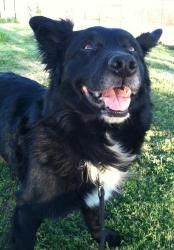 Mitch is an adoptable Border Collie Dog in Loomis, CA. Mitch is a calm gentleman of a dog. He can be a bit shy when first meeting new people, but will warm up quickly. He is an easy guy, walking nicel...