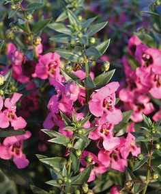 PW Angel Face Pink snapdragon