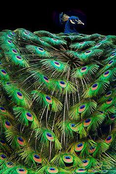 ✯ Peacock