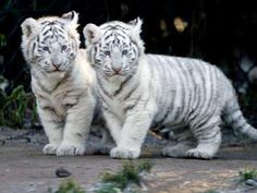 cute white baby tigers