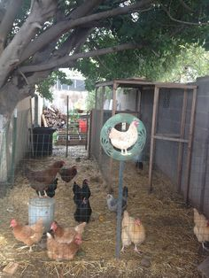 Some good ideas for raising chickens
