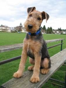 This is one super darling little Airedale puppy* the game, airedal puppi, airedal terrier, airdal puppi, airedale terrier