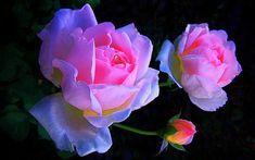 Pink roses -- computer wallpaper