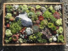 Rock garden with Sedum, Sempervivum, Jovibarba, and a few other hardy plants.