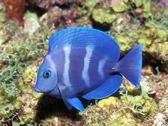 blue saltwater fish.