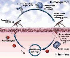 Protozoa Parasites In Humans   PARASITES
