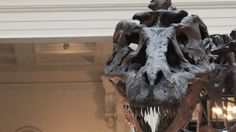 Caring for the world's most famous T. rex