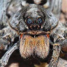 Wolf Spider - face - Hogna carolinensis - BugGuide.Net