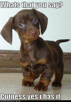 dog days, cutest dogs, dachshund, funny pictures, puppy pictures