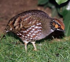 The Hill Partridge (Arborophila torqueola) is found in subtropical or tropical moist lowland forests and subtropical or tropical moist montane forests. It has a hen-like contact call that is constantly uttered when it is feeding. It breeds between April and June, The food of this species comprises seeds and various invertebrates, which it collects by scratching in leaf litter. The birds are mostly seen in pairs or small coveys of up to 10 individuals that may be made up of family groups.