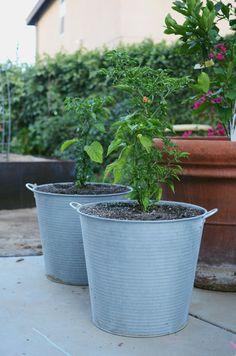 pepper plants in zinc pots