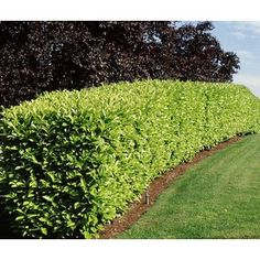 Prunus laurocerasus - Cherry Laurel - hedge.