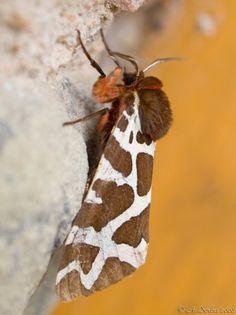 Ecaille Martre (Arctia caja) Garden Tiger #butterflies