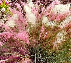 cotton candy swirl ornamental grass from Cottage Farms on QVC...we'll give it a try!