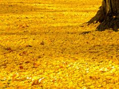 Ginkgo biloba - the most beautiful yellow the fall can give