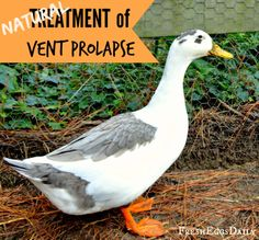 Treating Vent Prolapse in Chickens and Ducks Naturally